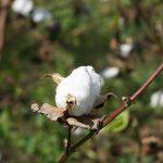 インド『スビンゴールド』の綿花畑へ